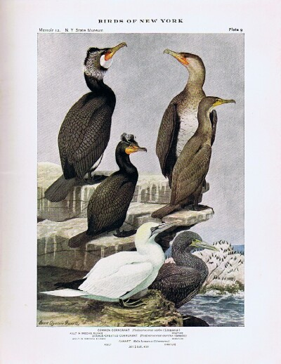 Image for Birds of New York (Two Volumes, Complete)  New York State Museum Memoir 12